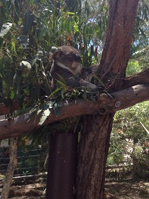 Kasumi koala