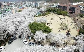 桜スンチョンヒャン