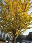 銀杏の木の写真