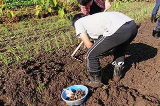 昨年の吹田くわい収穫作業の様子