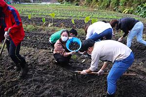 吹田くわいの収穫作業